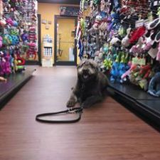 Bear a Labradoodle dog training in a pet store in Memphis