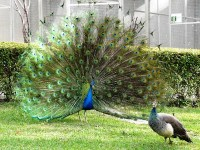 Male-Peacock-displaying
