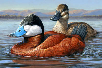 Ruddy Ducks, by Jennifer Miller - postage stamp contest winning art.