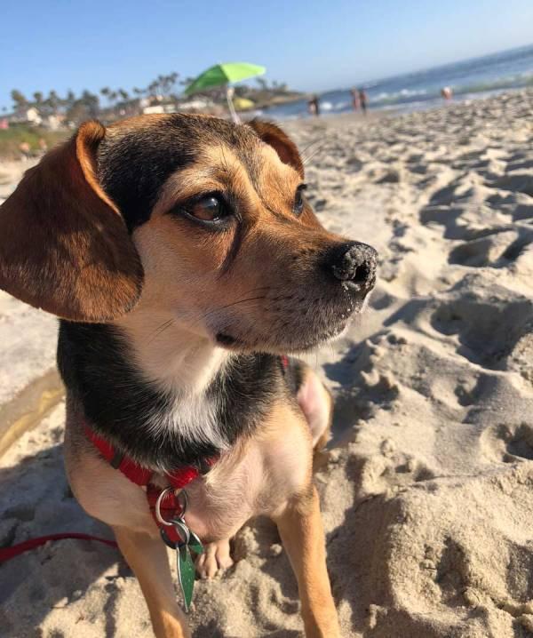 Meeko Beagle Chihuahua Mix