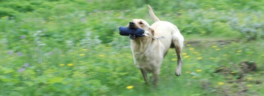 Perdix Gundogs Flute of Gamegainer - Gamegainer Gundogs