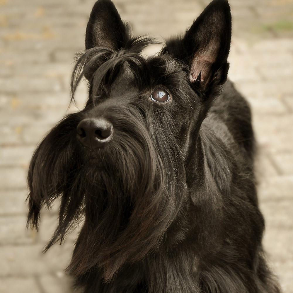 Scottish Terrier Pedigree Database