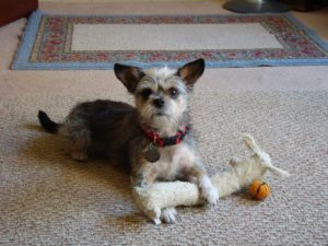 This is a Brussels Griffon Yorkshire Terrier mix breed dog that is called a Griffonshire hybrid dog