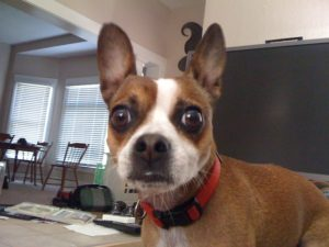 This is a Chihuahua and Boston Terrier mix breed dog that is called a Boston Huahua hybrid dog.