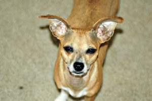 This is a Chihuahua and Italian Greyhound mix breed dog that is called an Italian Greyhuahua hybrid dog.