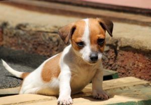 This is a Chihuahua and Jack Russell Terrier mix breed dog that is called a Jack-chi hybrid dog.