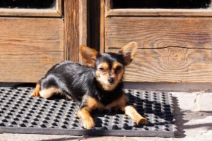 This is a Chihuahua and Yorkie mix that is called a Chorkie hybrid dog.