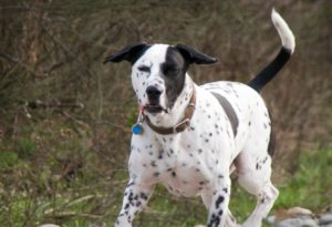 This is a Dalmatian Boxer mix breed dog that is called a Bomation hybrid dog