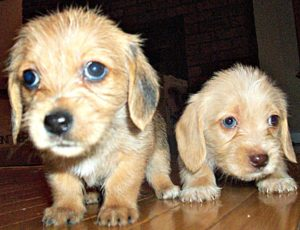 These are Lhasa Apso and Dachshund mix breed puppies. They are called Dachsi Apso hybrid puppies