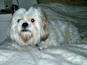 This is a Lhasa Apso and Poodle mix breed dog that is called a Lhasapoo hybrid dog.