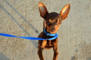 This is a Miniature Pinscher and Chihuahua mix breed dog that is called a Chipin hybrid dog