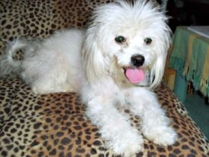 This is a Poodle Shih Tzu mixed breed dog that is called a Shih-Poo hybrid dog.