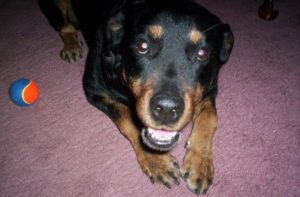 This is a Rottweiler and Labrador Retriever mix breed dog that is called a Labrottie hybrid dog