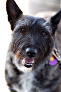 This is a Scottish Terrier and Cairn Terrier mix breed dog that is called a Bushland Terrier hybrid.