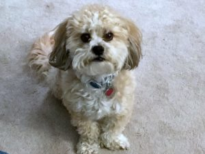 This is a Shih Tzu and Bichon Frise mix breed dog that is called a Zuchon hybrid or Shichon hybrid dog.