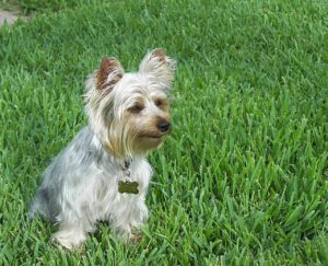 This is a Silky Terrier and Yorkshire Terrier mix breed dog that is called a Silkshire Terrier hybrid dog