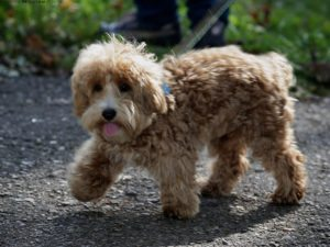 This is a Westie Poodle mix breed dog that is called a Wee-Poo hybrid dog