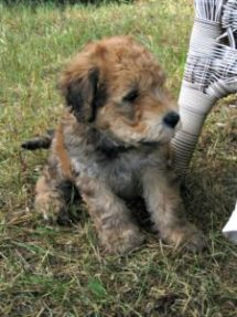 This is a Wheaten Terrier Poodle mixed breed dog that is called a Whoodle hybrid dog