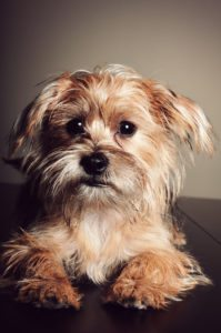 This is a Yorkie Shih Tzu mix breed dog that is called a Shorkie Tzu hybrid dog