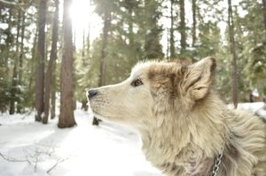 This is an Alaskan Malamute Wolf mix breed dog - a Wolamute dog?