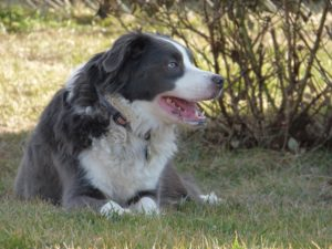 This is a Border Collie and Australian Shepherd mix breed dog called a Border-Aussie dog