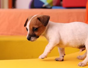This is a Jack Russell Terrier and Chihuahua mix breed dog that is called a Jack-chi hybrid dog.