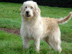 Labradoodle suns - daļa labradoru retrīvers, daļējs pūdelis!