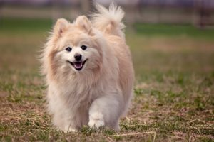 This is a Pomeranian and American Eskimo mix breed dog that is called a Pomimo hybrid dog.