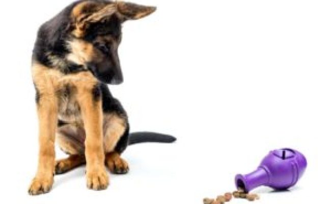German Shepherds Smart Loyal Dogs That Need Constant Exercise