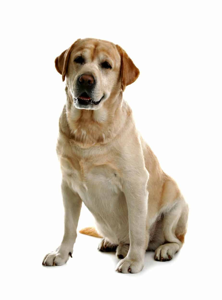Pictures Of Golden Labs : pictures, golden, Labrador, Retriever, Golden, Retriever:, Difference