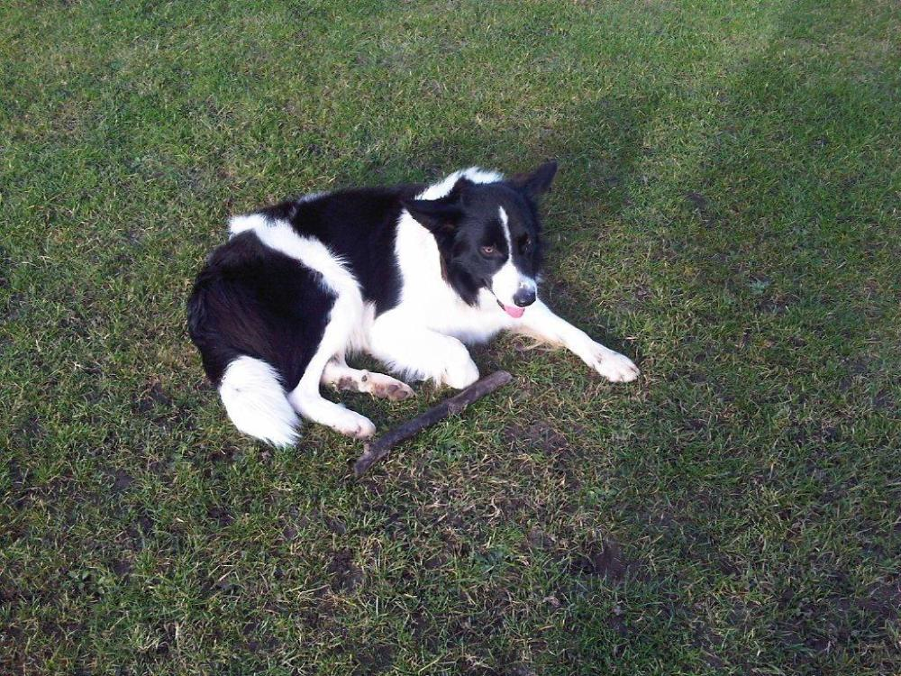 12 Months Old Border Collie Free to Good Home (3/3)