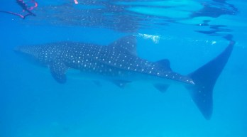 oslob-whale-sharks-14_moment2