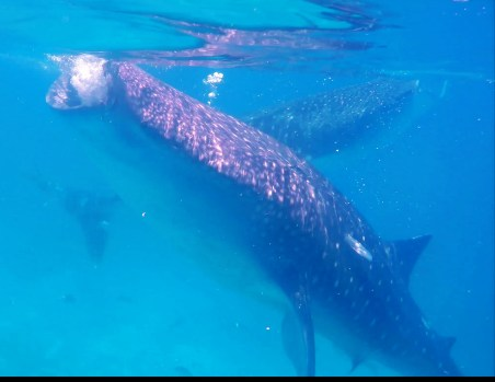 oslob-whale-sharks-21_moment2