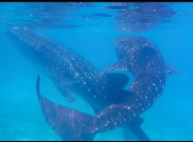 oslob-whale-sharks-7_moment