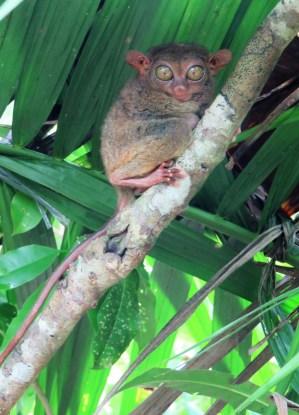 tarsier-sanctuary-16