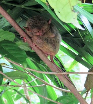 tarsier-sanctuary-6