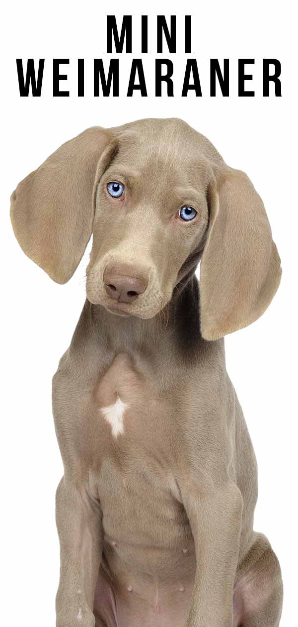 Mini Weimaraner A Smaller Version Of Your Favorite Dog