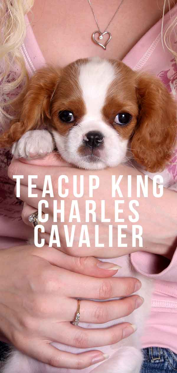 Teacup Cavalier King Charles Spaniel Puppies For Sale In Ohio : teacup, cavalier, charles, spaniel, puppies, Teacup, Charles, Cavalier, Guide