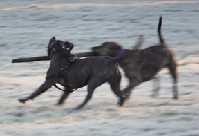 Staffies playing