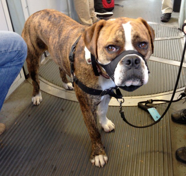 dog of the day: bubbles the stratfordshire/bulldog/boxer mix? - the