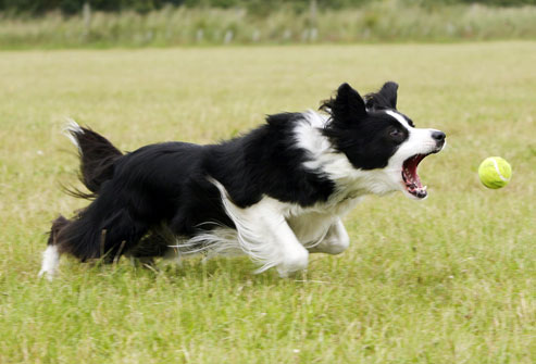 border collie running after ball