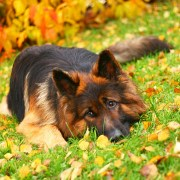 german-shepherd-lying-in-the-grass