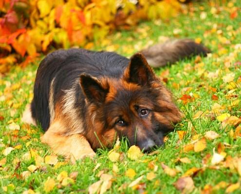 german-shepherd-lying-in-the-grass