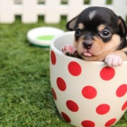 chihuahua-dog-puppy-cute-dogs-are-all-born-healthy-from-joint-dyspaxia