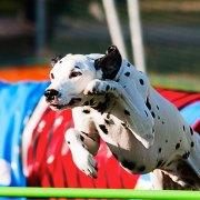dalmatian-agility