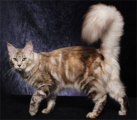 Cat demonstrating a Question Mark tail