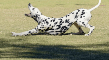 bend-and-stretch-dalmation