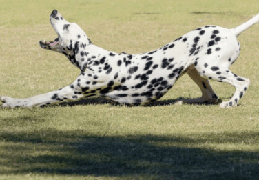 bowing playful dalmation