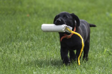 Puppy busy with retriever training
