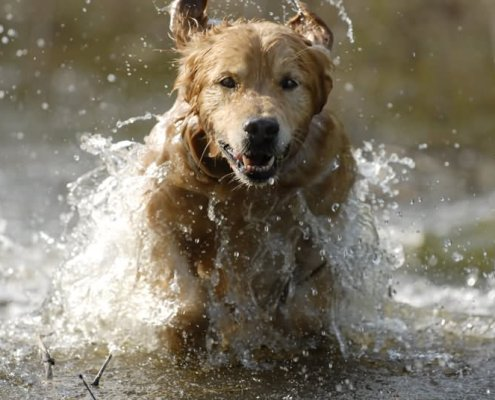 golden-retriever-dog-running-in-water